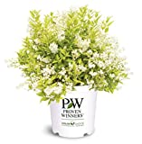 Proven Winners - Deutzia gracilis Chardonnay Pearls (Chardonnay Pearls Deutzia) Shrub, white flowers, #2 - Size Container