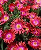 "30+ DELOSPERMA CARMINE RED FLOWER SEEDS / ICE PLANT / HEAT & COLD HARDY 4"" HIGH"