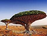 DIY Home Garden Plant 10 Seeds Canary Island Dragon Blood Tree Dracaena Draco Showy, Exotic, Rare,#E825LI