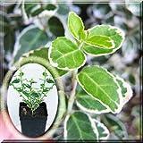 White Euonymus Fortunei f. Emerald Gaiety Wintercreeper Shrub 1~2 Pot Plant (2 Pot)