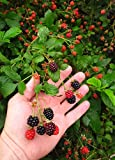 3 live rooted 2 year old wild black raspberrry plants