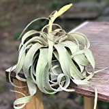 Large Air Plants - Large Xerographica Air Plants - The Queen of Air Plants - Big 5 to 7 Inch Wide air plants - Leaf Structure & Appearance Varies - 30 Day Guarantee - Fast Shipping from Florida