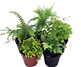"Mini Ferns for Terrariums/Fairy Garden - 5 Different Plants-2"" Pots"