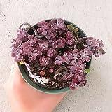 Sedum Spathulifolium Purpureum Succulents (4 inch pot)