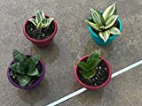 """Snake Plant Hahnii Gold Sansevieria BIRDS NEST, Two sizes, shown in 5"""" pot, NASA approved, healthy, rooted, and easy to grow"""