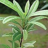 ALLSPICE - Live Plant - Pimenta dioica Spice Tree, Jamaica Pepper, officinalis