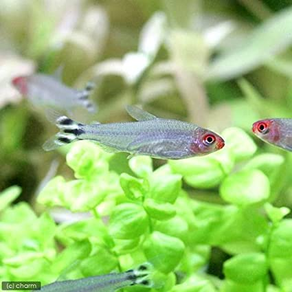 (熱帯魚)ラミーノーズ・テトラ(ブリード)(3匹) 本州・四国限定[生体]