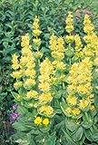 """Gentiana Lutea """"Great Yellow Gentian"""" 50 x Fresh Seeds"""