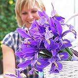 Van Zyverden Dutch Iris Sapphire Beauty Set of 25 Bulbs