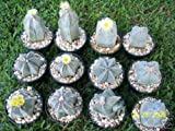 Astrophytum Myriostigma MIX @J@ exotic globular cacti rare cactus seed 200 SEEDS