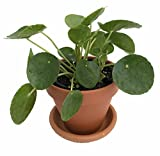 """Chinese Money Plant - Pass It On Plant - Pilea peperomioides- 4"""" Clay Pot/Saucer"""