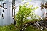 Water Plants Myriophyllum Tetrandrum 1 x bunch - RARE Live aquarium plant