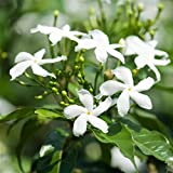 "Jasmine: Star- Well Rooted 4"" Live Potted Plant - So Fragrant! 