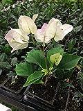 Bougainvillea 'Mary Palmer' Starter Plant
