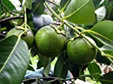 1 Starter Plant Of Black Sapote Plant