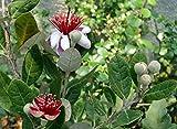 "Pineapple Guava Plant - Feijoa - Acca sellowiana - 4"" Pot"