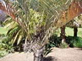 Triangle Palm Seeds (Neodypsis decaryi) 2+ Rare Seeds + FREE Bonus 6 Variety Seed Pack - a .95 Value! Packed in FROZEN SEED CAPSULES for Growing Seeds Now or Saving Seeds For Years