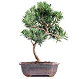 "Brussel's Live Podocarpus Micro Phyllus Outdoor Bonsai Tree - 5 Years Old; 8"" to 10"" Tall with Decorative Container"