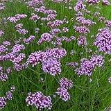Outsidepride Verbena Purpletop Vervain - 5000 Seeds