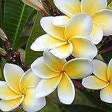 Fengzhicai 100Pcs/Bag Plumeria Rubra Frangipani Hawaiian Lei Flower Seeds Garden Plants
