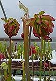 Leucophylla Tarnok Sarracenia Live Growing Carnivorous Plant.for 2-3 inch Pot(sarleutar1-3)