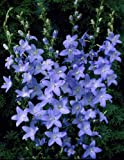 50+ CHIMNEY BELLFLOWER BLUE FLOWER SEEDS / PYRAMIDALIS / PERENNIAL / CAMPANULA