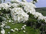 New Single Seed English Hawthorn , Crataegus monogyna , 20 + Tree Seeds ( Showy , Hardy )