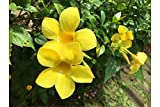 Tecoma stans 20 seeds Yellow Bells Tropical Seeds Small evergreen Stunning Flower Potted or Outdoor Standard A perfect Tropical Look