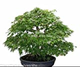 Rare Green Japanese Maple Acer Palmatum Omurayama Bonsai 10 Seeds