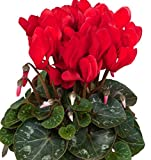 Red Cyclamen Potted Starter Plant, Quart Pot, Great for Any Garden, Great as a Houseplant