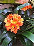 1 Bulb/Plant of Fire Lily (Clivia miniata)