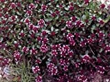 Thymus pulegioides 5,000 seeds