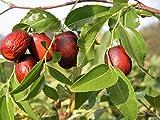 New ASIAN DATE Jujube Ziziphus Spinosa Common Chinese Tsao Red Fruit Tree 20+ Seeds