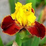 Iris germanica All That Jazz - 1 plant