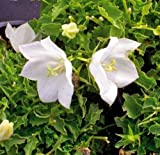 White Bellflower (50 seeds) Campanula carpatica alba 'Weisse Clips'/White Clips