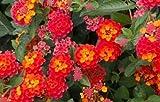 "Lantana ""Radtiation""; red & orange; Flowering Plant Bush - LIVE POTTED - 10""+"