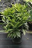 Gold Dust Plant aka Aucuba Japonica Live Plant Fit 5 Gallon Pot