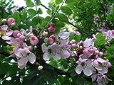 Cassia javanica Tree Seeds Pink Shower flower Apple Blossom Rainbow Shower 3 seeds