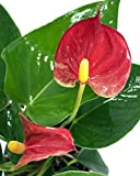 "Sierra Anthurium Plant - Easy to Grow Blooming House Plant - 4"" Pot - Great Gift"