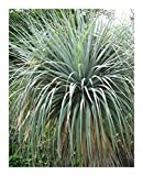 Nolina nelsonii - Blue Beargrass Tree - Nelsons Beargrass - 5 seeds