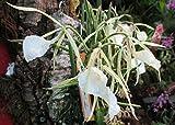 Lady of the Night Orchid: Brassavola nodosa