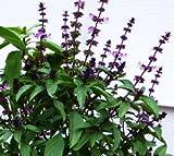 100 Licorice Basil Seeds