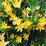Outsidepride Mimulus Yellow - 2500 Seeds