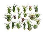 20 pc Air Plant Ionantha Tillandsia Lot - Wholesale Tillandsias - Great for Terrarium Kit, House Plants