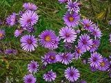 Aster- New England - 100 Seeds