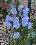 200 BLUE CANTERBURY BELLS - CAMPANULA Medium Flower Seeds *Comb S/H