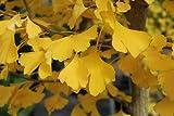Ginkgo Biloba Autumn Gold 1 - Year Graft