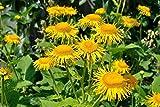 100 Seeds - Elecampane Seeds, also called Yellow Starwort,, Non Gmo Untreated - Perennial