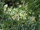 Russelia Equisetiformis Seed Bao Zhang Zhu Flower Seed DIY Gardening Rare Flower Seeds Bonsai Garden Decoration 100 Pcs 2