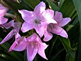 Crinum Powellii Rosea Powell Lily, Cape Lily River Lily 2 yr bulb